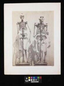 Skeleton of Man and of the Male Gorilla (Troglodytes Gorilla) thumbnail 1