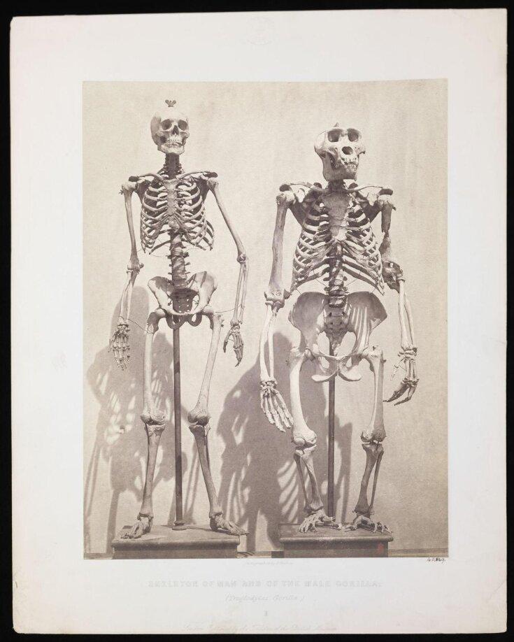 Skeleton of Man and of the Male Gorilla (Troglodytes Gorilla) top image