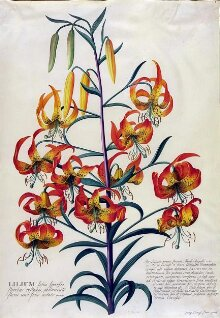 American Turk's-cap lily (Lilium superbum) thumbnail 1