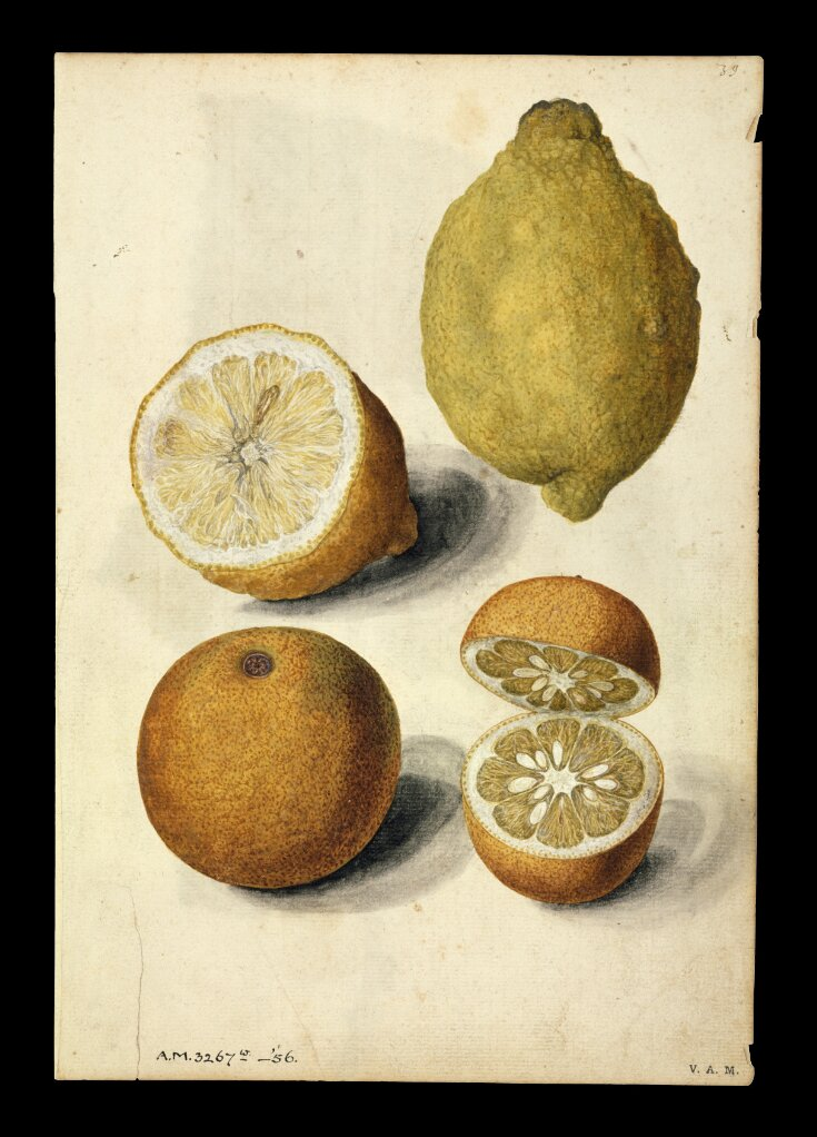 Lemon and orange; mulberry branch top image
