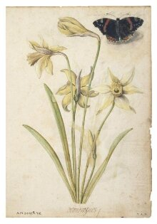 Daffodils and a Red Admiral Butterfly thumbnail 1