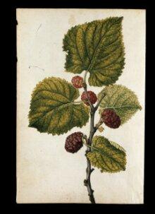 Lemon and orange; mulberry branch thumbnail 1