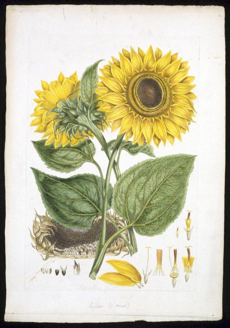 Helianthus annuus L. top image