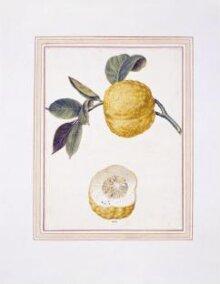 Citron-lemon, Citrus limonimedica thumbnail 1