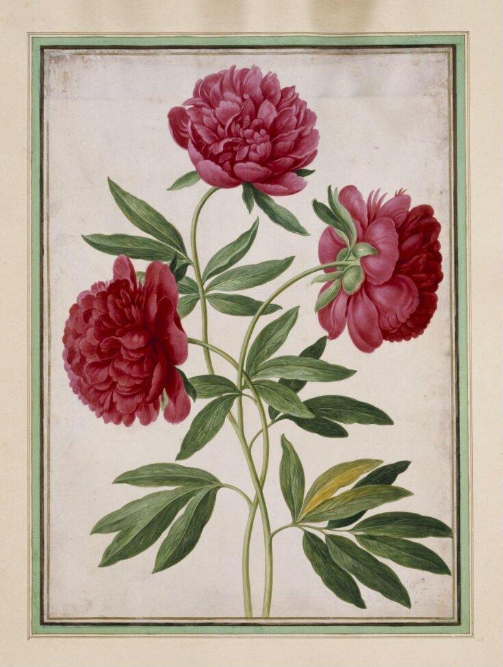 Paeonies (Paeonia officinalis) top image