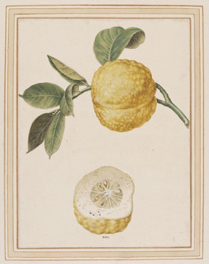Citron-lemon, Citrus limonimedica top image