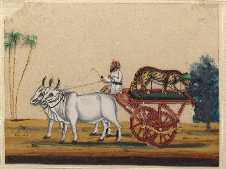 A bullock cart carrying a cheetah. top image