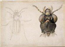 Magnified studies of a beetle (the ground beetle Notiophilus biguttatus?) thumbnail 1