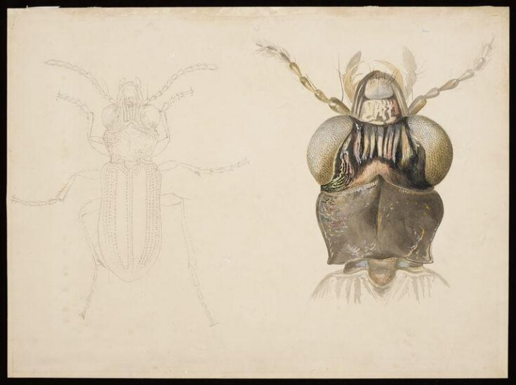 Magnified studies of a beetle (the ground beetle Notiophilus biguttatus?) top image