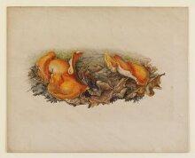 Orange fungi (Aleuria aurantia) growing amongst fallen leaves thumbnail 1