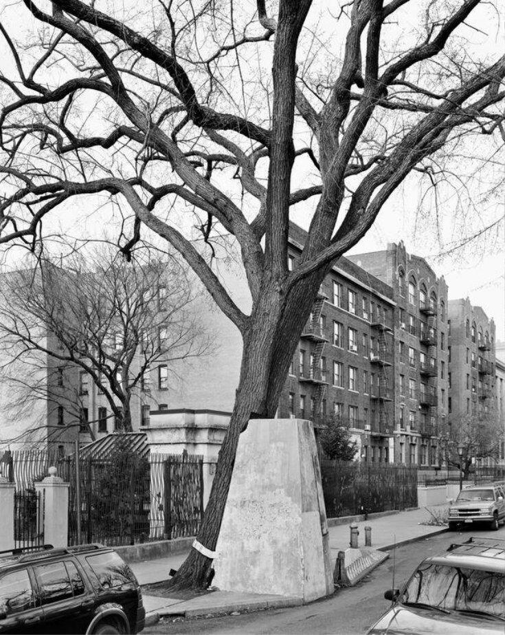 American Elm, Eastern Parkway, Brooklyn top image